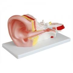 中耳解剖模型(3倍) 耳朵示教模具 耳朵构造解剖教学模型