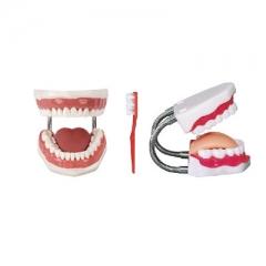 牙保健模型,牙齿护理模型 厂家直销牙齿放大模型 货号100.HY19