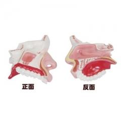 鼻腔解剖模型,呼吸系统解剖模型, 学徒解剖训练放大模型 货号100.HY112