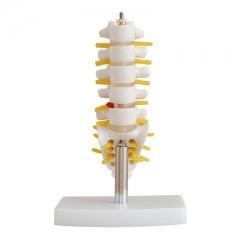 (小型)腰椎带尾椎骨模型,教学模型, 腰椎骨,人骨结构模型  货号100.HY112